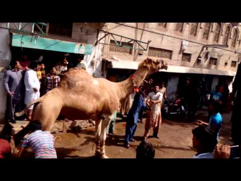 Angry Camel's Qurbani
