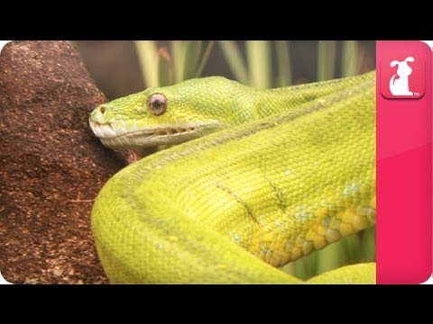 Bindi & Robert Irwin feature - Green Tree Python (Scott) - Growing Up Wild. - UCPIvT-zcQl2H0vabdXJGcpg