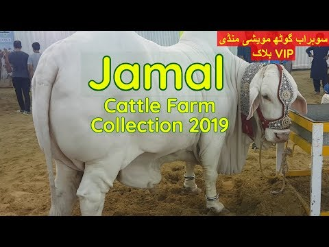Jamal Cattle Farm Collection 2019