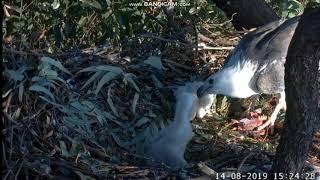 Bielik białobrzuchy Sydney Australia  - samica karmi SE23  2019 08 14