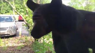 Black bear looks in window in Walker