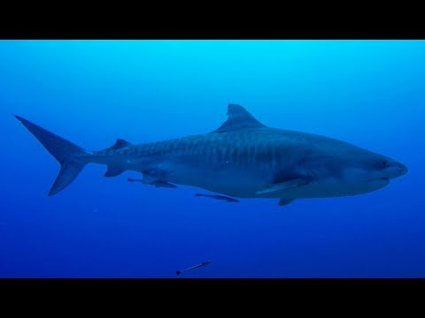 """GoPro: Shark Diving in Tahiti with Mark Healey - Ep. 4 - """"Connect not Conquer"""" - UCqhnX4jA0A5paNd1v-zEysw"""