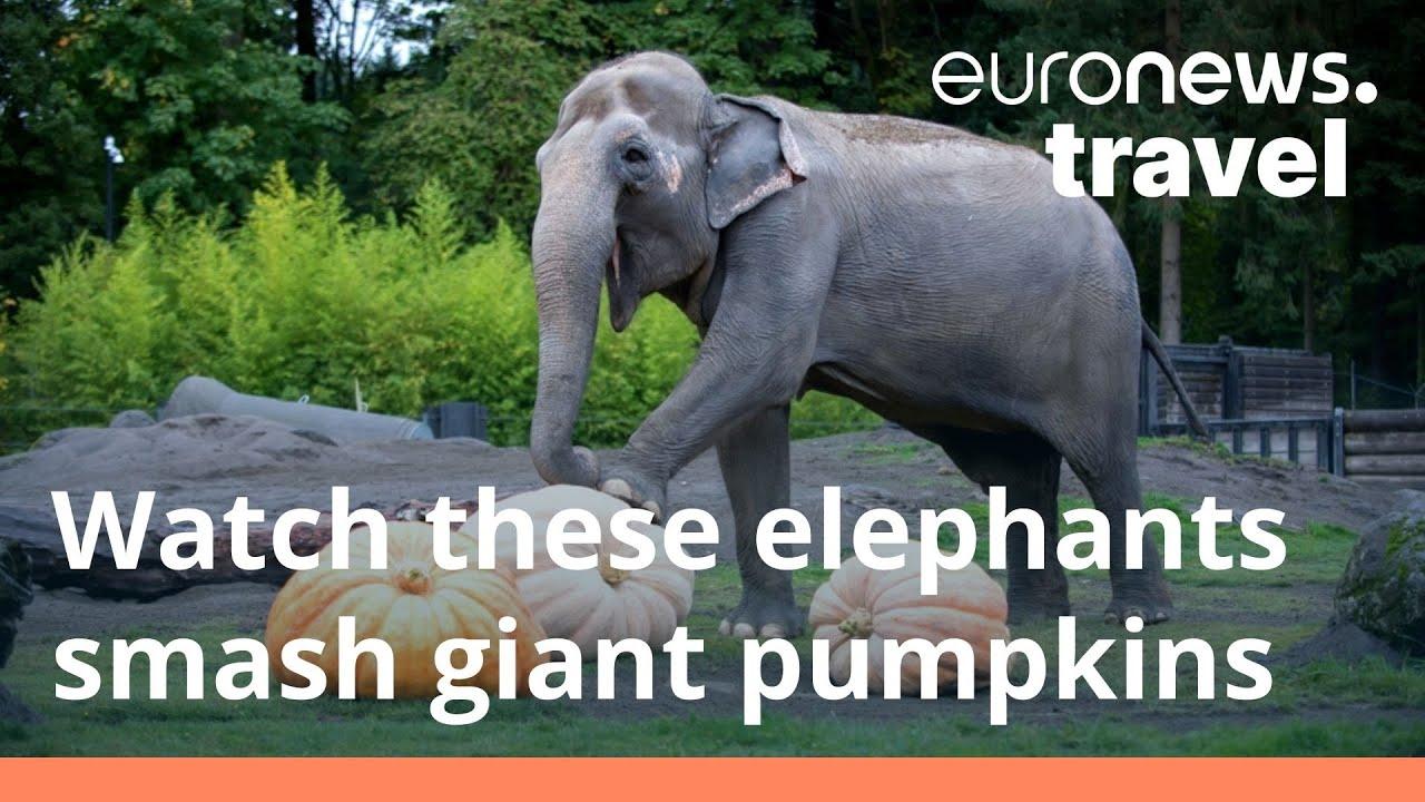 'The Squishing of the Squash': Portland's elephants help usher in Halloween