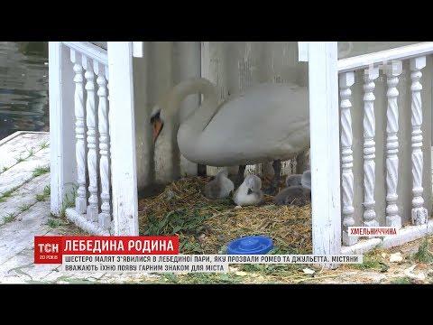 У сім'ї лебедів у Кам'янець-Подільському з'явилося поповнення