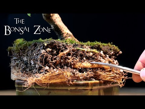 Bougainvillea Bonsai, Part 1, The Bonsai Zone, Jan 2018