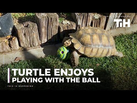Turtle Enjoys Playing With Ball in Backyard
