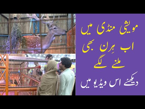 Hiran Ka Joda | Brahman Bull in Pakistan | Al Syed Cattle Farm