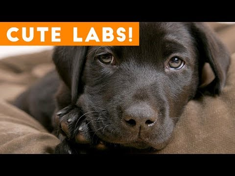 The Cutest Lab Compilation of 2018 | Funny Pet Videos