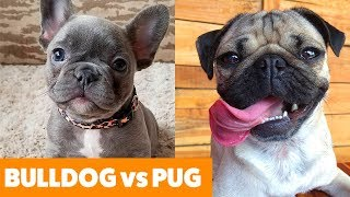 Bulldog vs. Pug - What To Expect! | Funny Pet Videos