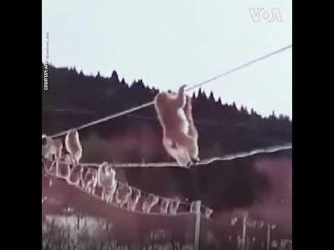 Nhật: Khỉ nối đuôi nhau đi dây cáp (VOA)