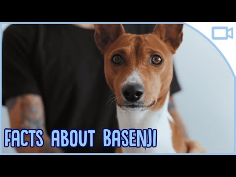 Facts about Basenjis!
