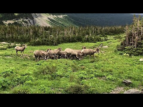 Majestic footage of bighorn sheep in Glacier National Park
