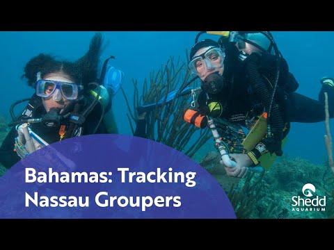 Bahamas: Tracking Nassau Groupers
