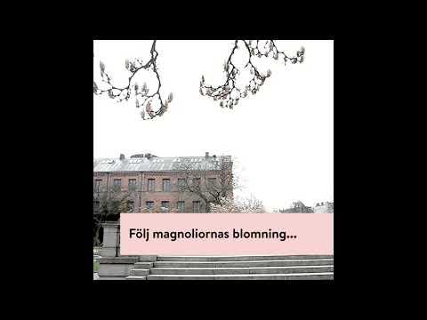 Magnolians tid är nu!