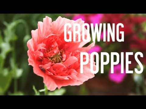 How to Grow Poppies from Seeds: Tips on poppy seed germination