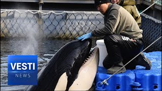 """Putin Weighs in on Whale Jail Controversy! Kremlin To Pursue """"Pro-Whale"""" Stance Going Forward"""