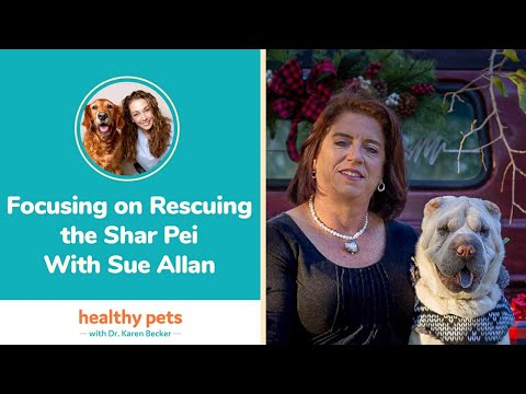 Focusing on Rescuing the Shar Pei With Sue Allan
