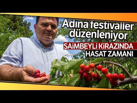 Adına Festivaller Düzenlenen Saimbeyli Kirazında Hasat Başladı