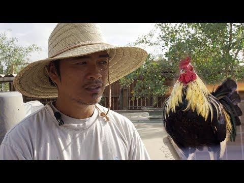 Bỏ cao học, nuôi gà kiểng xuất về Việt Nam