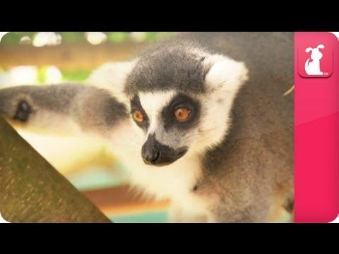 Bindi & Robert Irwin feature - Ring Tailed Lemurs (Vatobe) ( Va-tob-ee) - Growing Up Wild - UCPIvT-zcQl2H0vabdXJGcpg