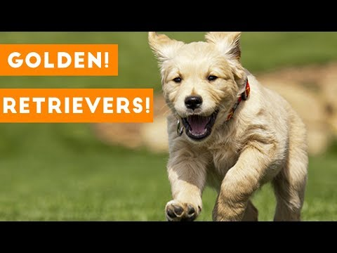 Funny And Cute Golden Retriever Puppies Compilation | Funny Pet Videos - UCYK1TyKyMxyDQU8c6zF8ltg