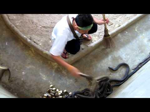 Job With Cobras