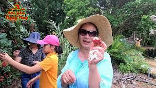 Dẫn đại gia đình Việt Kiều Mỹ đi thăm quan vườn trái cây chôm chôm Vietnam