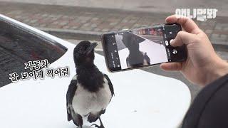 왠지 인스타그램 있을거같은 핵인싸 까치ㅋ l Hooman-Friendly Wild Magpie Is A Real Homie