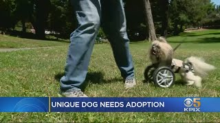 Dog Without Front Legs Looking For New Home After Being Rescued By East Bay Group