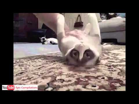 Epic Funny Cats / Cute Cats Compilation  -  60 minutes!! [HD][HQ] - UCfM4Ls9nZKTourBUerc1Wnw