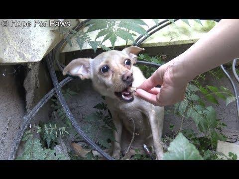 Saving a homeless Chihuahua who was NOT ready yet for human contact. - UCdu8QrpJd6rdHU9fHl8J01A