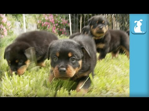Amazing Rottweiler Puppies! (CUTEST COMPILATION EVER) - Puppy Love - UCPIvT-zcQl2H0vabdXJGcpg