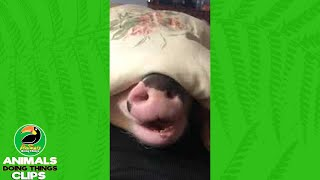 Pig Under a Blanket Eats Grapes | Animals Doing Things Clips