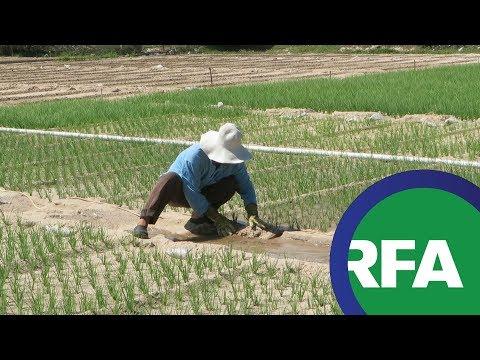 Người trồng hành, tỏi kêu cứu | © Official RFA