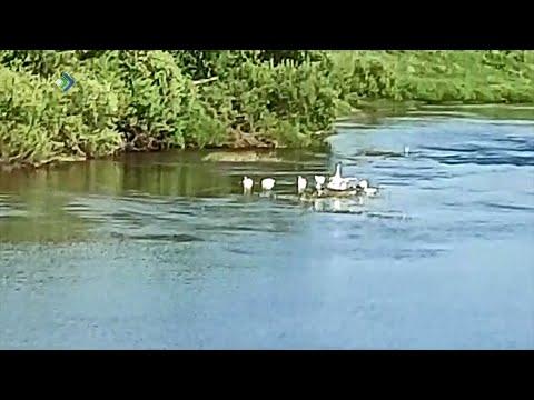 В Визингу прилетела стая лебедей