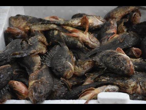 Sinop'ta iskorpit balığına ilgi
