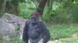 Sad Gorilla Because of No Girls Funny Video MadLipz