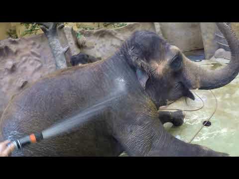 Sloní vlog - Sprchování