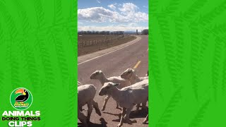 Happy Dog Herds Some Goats | Animals Doing Things Clips