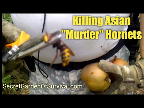 How to Dispose of Japanese Hornets  Eating Asian Pears
