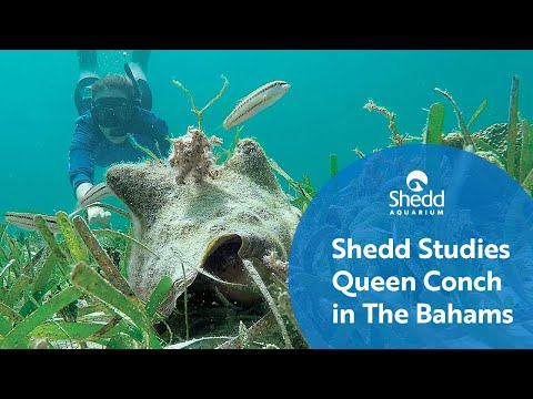 Shedd Studies Queen Conch in The Bahamas