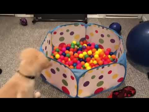 Funniest & Cutest Golden Retriever Puppies #10 - Funny Puppy Videos 2019