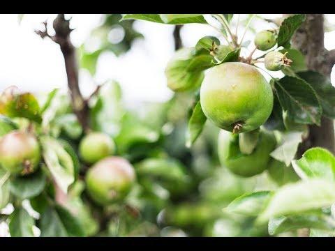 Fruktträd - experten tipsar!