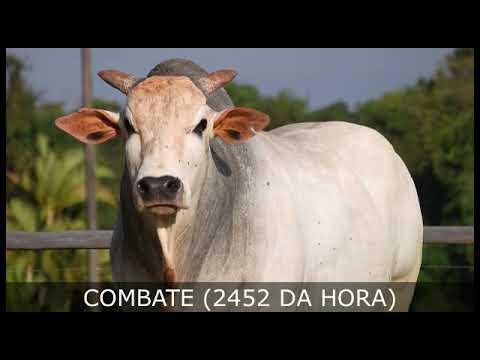 COMBATE (2452 DA HORA) - Nelore