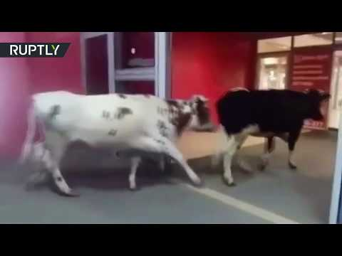 Extraordinary clients: Cows enter & stroll in Russian shopping mall