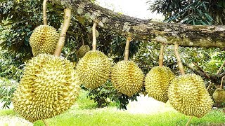 Asia Durian Farm and Harvest - Asian Durian Cutilvation Technology and Durian Processing