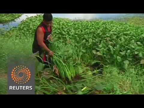 Philippines invasive plant could fuel the country's kitchens