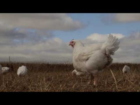 Ethical free range chickens