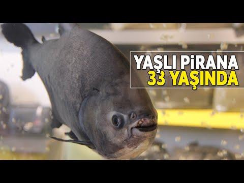 Türkiye'nin En Yaşlı Piranası Görenleri Şaşırtıyor