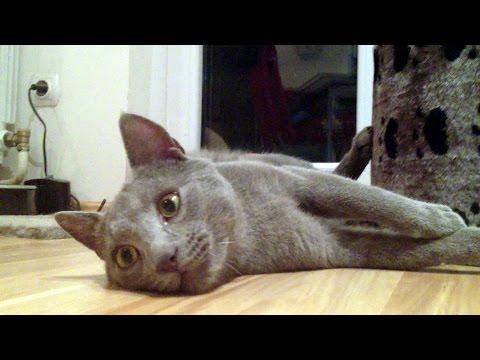 Cute Kittens playing with Russian Blue Cat - UCz16VJsamDKve4WangqQ5Ow